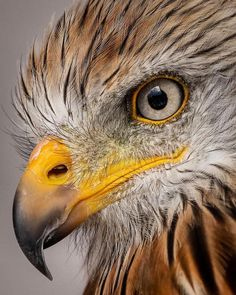 Eye to eye with a Red Kite. Eagle Pictures, Bird Pictures, Bird Drawings, Animal Drawings, Beautiful Birds, Animals Beautiful, Animals And Pets, Cute Animals, Eagle Drawing
