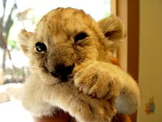 i want to hold a baby lion/tiger/cheeta.. whatever big cat i could! i love big cats