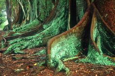 Norfolk Island Banyon Trees by Steve Daggar, via Flickr Banyon Tree, Norfolk Island, View Image, Islands, Cool Photos, Trees, Australia, Memories, River