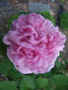 Hybrid Perpetual Rose: Rosa 'Baronne Prevost' (France, 1841)