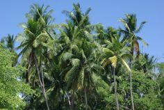 pjm coconuts @ www.mytropicalhut.com
