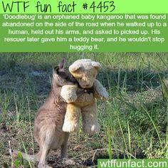 Orphaned baby kangaroo only want to hug his teddy bear -   WTF fun facts