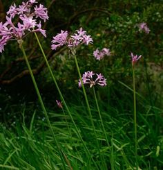 Tulbaghia violacea/society garlic, from MG sale 4.11.15, full sun to part shade, regular water, stinks, fall bloom