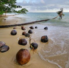 Coconuts germinating on unspoiled beach by B℮n, via Flickr