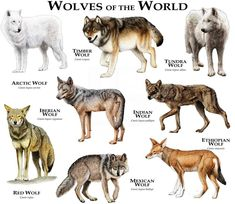 Wolves of the world . One thing, though. Ethiopian wolves are canids, but not actual members of the wolf species. All true wolves (including domestic dogs) are listed under CANIS LUPUS, while the Ethiopian wolf is listed under CANIS SIMENSIS. Wolf Love, Gray Wolf, Maned Wolf, Wolf Black, Beautiful Creatures, Animals Beautiful, Types Of Wolves, Tier Wolf, Wolf Spirit