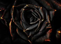Black Rose~Yoni
