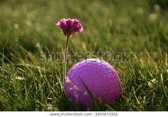 Pink Golf Ball Flower On Grass: стоковые изображения в HD и миллионы других стоковых фотографий, иллюстраций и векторных изображений без лицензионных платежей в коллекции Shutterstock.  Ежедневно добавляются тысячи новых высококачественных фотографий. Golf Ball, Grass, Flowers, Pink, Image, Florals, Hot Pink, Grasses, Pink Hair