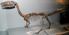 Coelophysis_bauri_mount.jpg (2814×1447) - the Cleveland Museum of Natural History. Dinosauria, Theropoda, Coelophysidae, Coelophysinae. Auteur : James St. John, 2009.