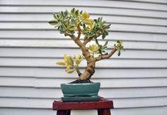 Jade Tree, Cactus, Succulent Bonsai, Crassula Ovata, Jade Plants, Bonsai Trees, Zen, Landscaping, Aqua