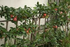 Espalier trees are the result of intense training, in which the plants are urged to grow flat against a wall, fence, or trellis. Learn more about how to espalier fruit trees in this article.