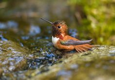 Rufous Hummingbird -