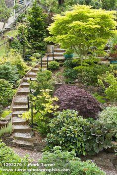 1203370 Steps climb hillside garden beside Golden Full Moon Maple, Cut-leaf Japanese Maple, Viburnum, Leopard Plant [Acer shiras