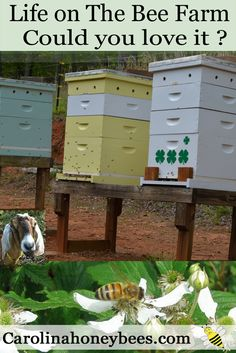 Life on the bee farm at Carolina Honeybees Farm in Pickens SC. Join Master Beekeeper Charlotte Anderson.