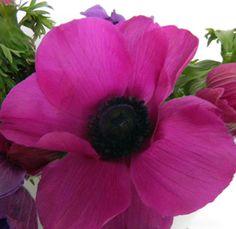 hot-pink-anemone. September