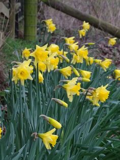Spring daffodils at Alkington Grange Barns