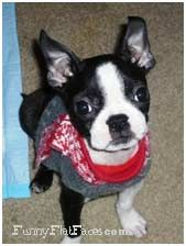 boston terrier baby