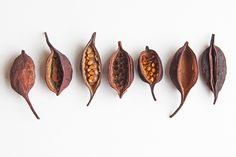 bottle-tree-seed-pods, by Mary Jo Hoffman Planting Seeds, Planting Flowers, Nature Collection, Tree Seeds, Seed Pods, Natural Forms, Natural Wonders, Patterns In Nature, Organic Shapes