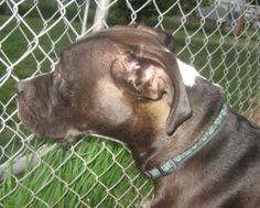 Brooklyn is a strikingly beautiful 4 year old Pitbull who was rescued from a very bad situation.  She was treated horribly and not socialized at all when Pound Rescue saved her from certain death.  She has been in care for 2 years and has come a...