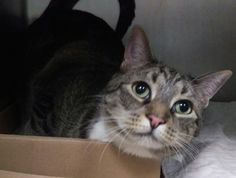 """CUTIE - A0816880 - - Brooklyn  Please Share:   **TO BE DESTROYED 02/24/16** RETURNED! """"A volunteer writes: Cutie is sure a cutie, with her lovely coloring and big gorgeous Jaded colored eyes, which look up at you so sweetly. She is a little shy around strangers, but she is such a sweetie pie. She loves your company, meowing for your love. She is lovable and you will find you delight in rubbing her head. She will rolling on her side appreciating you affection, closing"""