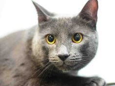 MUMBLES - A1123597 - - Brooklyn  ***TO BE DESTROYED 09/07/17*** SHY RUSSIAN BLUE KITTY MUMBLES WAS GOOD WITH KIDS AND ADULTS –  NEEDS A HERO TONIGHT!!  MUMBLES is a handsome Russian blue mix who lost his home when owner became sick.  He is already neutered, and needs a new place to call home.  He is a bit shy and needs time to relax and regroup.  MUST RESERVE BY NOON! -  Click for info & Current Status: http://nyccats.urgentpodr.org/mumbles-a1123597/