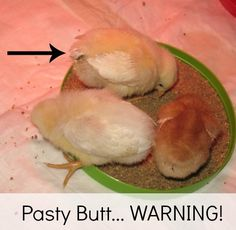 My 11 year old son's chicken business is Deluxe Clucks.  He is posting about Chick Pasty Butt.  If you are planning to raise chicks, you need to read this post!  Pasty Butt can be fatal and it is so easy to treat!
