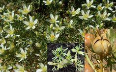 Peganum Harmala Harmal Dye Plant Seeds