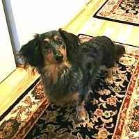 Portland Or Dachshund Meet Remy A Pet For Adoption