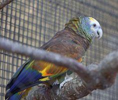 A Saint Vincent Amazon at Houston Zoo, Texas.