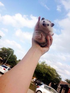 Funny pictures about Hedgehog To The Sky. Oh, and cool pics about Hedgehog To The Sky. Also, Hedgehog To The Sky photos. Baby Animals, Funny Animals, Cute Animals, Animal Memes, The Bloodhound Gang, Animal Pictures, Funny Pictures, Random Pictures, Mundo Animal