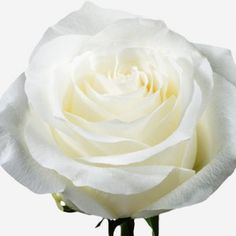 This incredible variety is as pure as it gets when it comes to perfection of colour, shape and smooth silky flower pedals. Beautiful Roses, How Beautiful, Rose Varieties, August Wedding, White Roses, Colorful Flowers, Icing, Floral Design, Things To Come