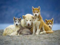 Baffin island sledge dogs