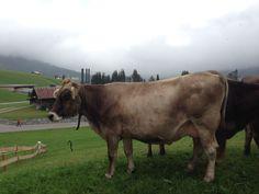 Nach der Viehprämierung gehts gleich auf den Laufsteg auf die Wiesen rund ums Hotel Gemma Cow, Animals, Pictures, Cat Walk, Environment, Round Round, Animales, Animaux, Cattle