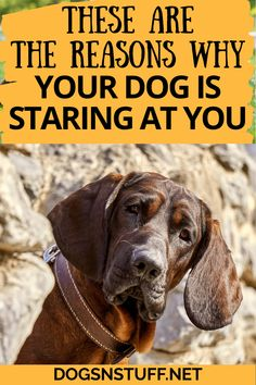 Here are the amazing reasons why your dog stares at you! Clever Animals, Dog Psychology, Dog Rules, Dog Hacks, Dog Behavior, Dog Training Tips, Pet Stuff, Mans Best Friend, Dog Owners