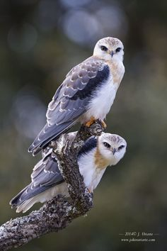 Black Winged Kites (Lanus caeruleus) Eurasia and Africa