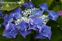 Macrophylla Nachtingale