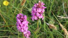 Wild orchids. Anglesey, Wild Orchid, Orchids, Flora, Coast, Album, Plants, Lilies, Planters