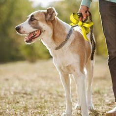 The Yellow Dog Project is an important step in helping dogs who are in need of space. Learn more about what to do if you see a dog with a yellow ribbon on from DogHealth.Com.
