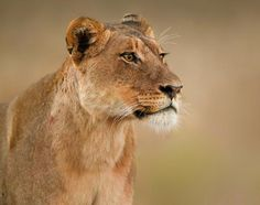 Lion at dawn, by Sue Berry - Pixdaus
