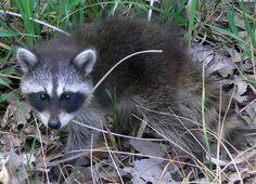 Common_Raccoon_(Procyon_lotor)_in_Northwest_Indiana.jpg 1,119×809 pixels