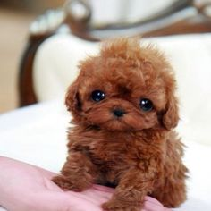 Micro Teacup Poodle puppy, they are cute but I would wonder about their safety. Micro Teacup Poodle, Teacup Poodle Puppies, Tea Cup Poodle, Micro Teacup Pomeranian, Teacup Puppies For Sale, Teacup Maltese, Tiny Puppies, Cute Puppies, Cute Dogs