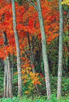 ~~Towada Maples ~ Japanese Maples at Lake Towada, Northern Honshu, Japan by Robert Jensen~~