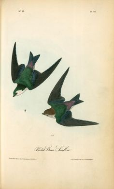 violet and green swallow by john james audubon