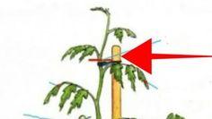 Tuto radu mi dal před lety tchán a těžíme z ní dodnes: Každý zahrádkář potřebuje pro bohatou úrodu jen tuto 1 věc! – Domaci Tipy Plants, Flora, Plant, Planting