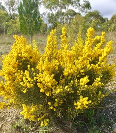 #happyspringday and #nationalwattleday everyone. Make sure you enjoy a moment in the great outdoors today. 🌼