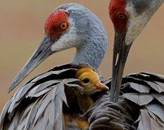 "Sandhill Cranes and baby. ""Haven"" by William C Gladish"