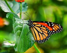 Butterfly captured in the new butterfly exhibit at the Memphis Zoo in TN