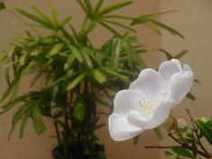 Registrei a evolução da minha linda flor! Horas depois do pequeno botão se abrir já está assim!