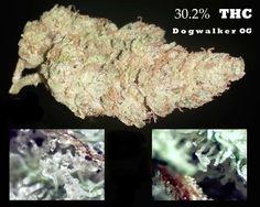 30.2% THC - Dogwalker OG