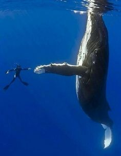 Diver with Humpback Whale