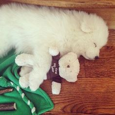 This perfect fluffball snuggling his very first teddy. | 19 Samoyeds Who Will Warm Your Freezing Cold Wintery Heart